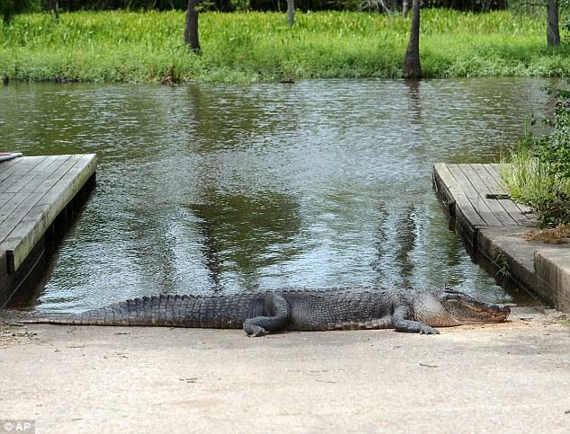 酒醉男子無視「內有鱷魚」標語跳水遭咬死後,這條鱷魚的下場也引來網友的狂怒!