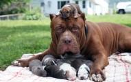 世界最大的76公斤鬥牛犬雖然很可怕,但看他第一次成為狗爸爸後的無奈表情!