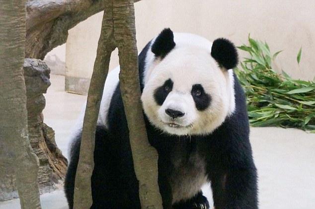 木柵動物園的母熊貓假裝懷孕,竟然就為了享受這樣的「天后級」待遇?!