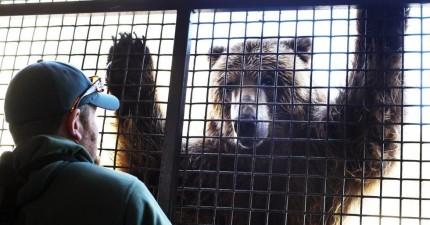 這隻360公斤重的灰熊不知道是不是看過《侏羅紀世界》,居然也想到聰明的方式想逃出來!