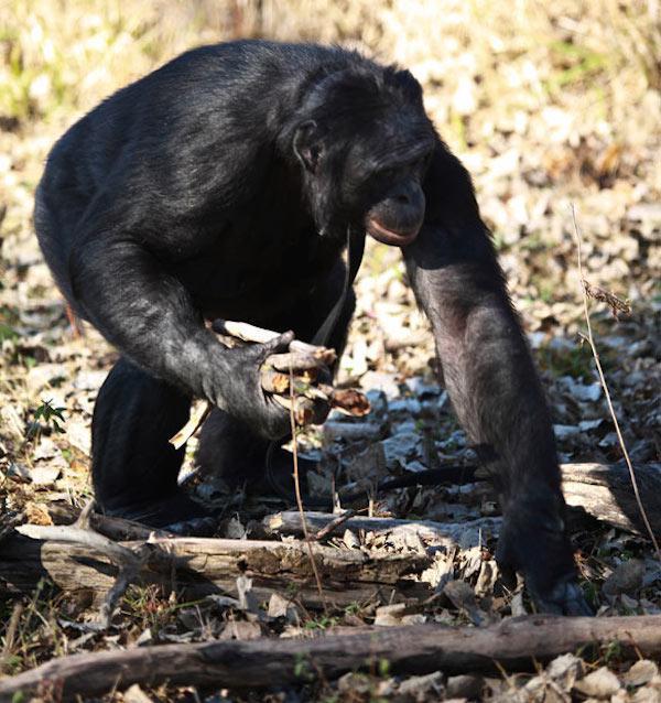 這隻超天才的猩猩在看了電影後,居然開始生火烤起棉花糖來吃?