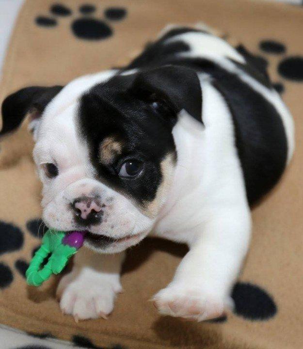 這隻先天缺陷的美人魚狗狗會用「一半的身體」讓你感受到「雙倍的可愛」!
