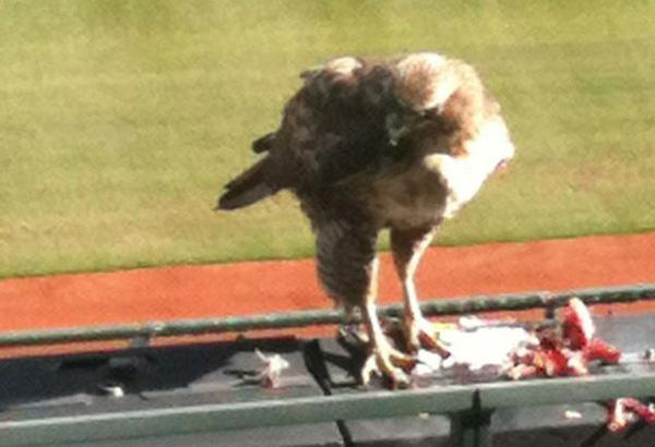 In 2012 a red tailed hawk took residence in AT&T park in San Francisco. This stadium is known for having lots of annoying seagulls but when the hawk was there, the problem wasn't so bad. The hawk was given the name Bruce Lee because it scared away the seagulls.