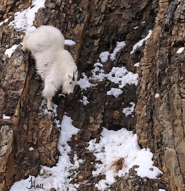 人類還要穿登山裝? 20隻「違反地心引力的超級山羊」