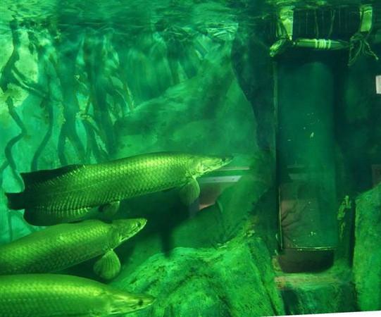 這條金魚為了要逃避被吃掉的命運,一躲居然就躲了7年!