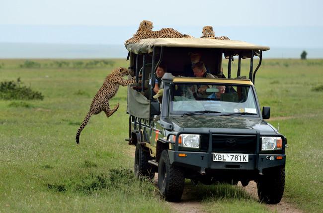 他們到非洲觀光只是想近看獵豹,不料一隻傻獵豹居然就直接跳到車子裡面!