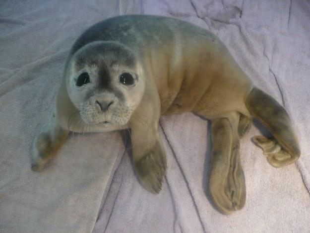 這隻小海豹被拯救出來看著你的眼神,會讓你瞬間墮入愛河!