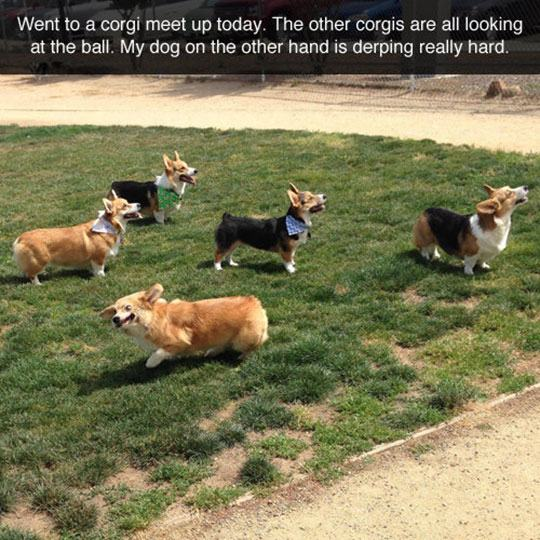 funny-corgi-dogs-looking-ball-1