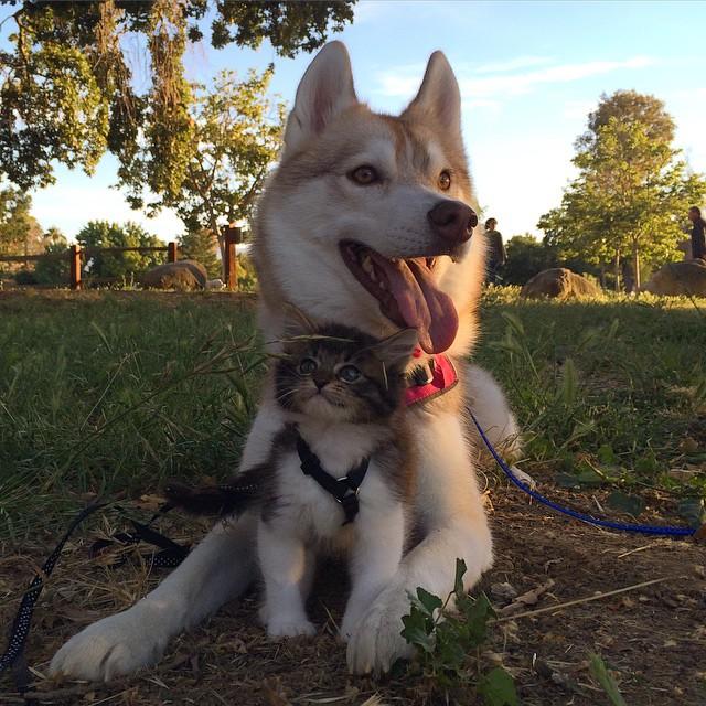 他們發現這隻垂死的小貓束手無策決定交給家中哈士奇,從此最萌的奇蹟就誕生了!