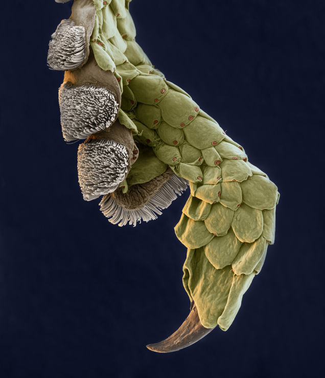 A microscopic image of the leg of a gecko.