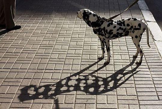 The Swiss cheese dog.