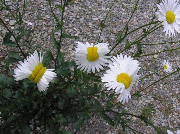 很多人都覺得福島核災不怎麼嚴重,直到他們看到了這些花...