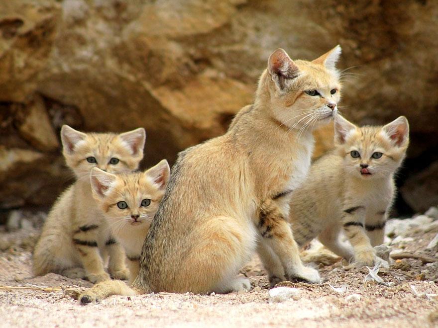 看過這種超稀有看起來不會變老的「沙漠貓」長大後的模樣,很多人應該都會超嫉妒吧!