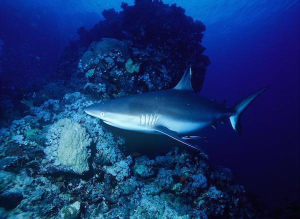 16個關於鯊魚的冷門知識,看完讓我突然好想要擁抱鯊魚呢...
