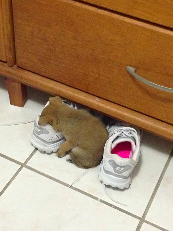 My Sister's Puppy Was So Tired, She Just Fell Asleep In Her Shoe
