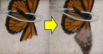 男子將翅膀破損的蝴蝶固定住,就是為了「幫牠將壞掉的翅膀復原」!