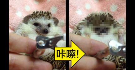 這隻刺蝟「剪指甲時在0:17露出的表情」,會讓你就算被刺痛都想要去抱抱他!