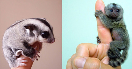 22隻可以放到你口袋裡偷偷帶著出門的「超可愛拇指動物」。