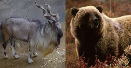 10種「只要付錢」就可以讓人殺的瀕臨絕種動物。
