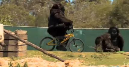 這些遊客來到動物園要看大猩猩,卻看到大猩猩開始喝酒、騎單車、還把車給開走?!