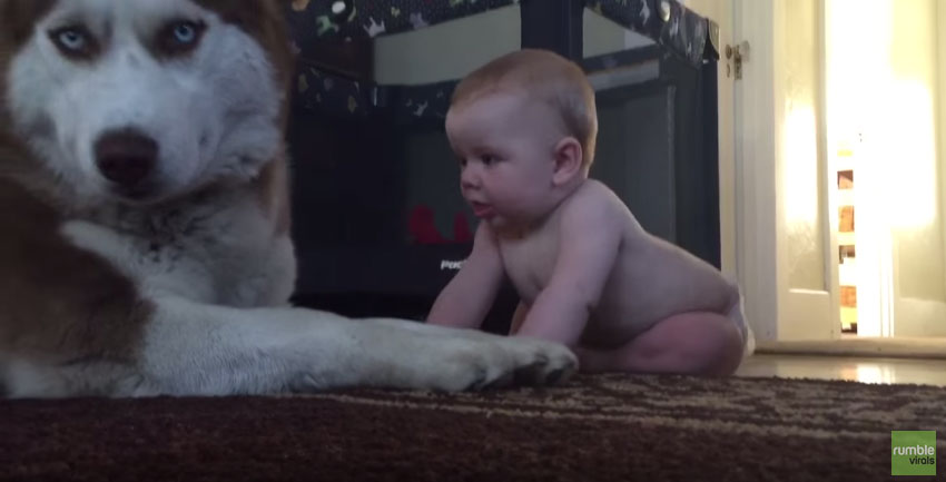 寶寶一直想要跟哈士奇玩但哈士奇一直耍酷,但到最後也受不了超可愛淪陷了!