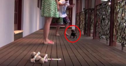 這隻狗狗不知道自己有多小隻,以為主人被攻擊時的「英雄救美」反應太讓人揪心了!