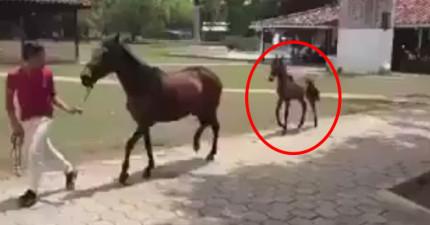 馬媽媽從來都沒有教過孩子怎麼慢跑,結果小馬最爆笑的跑步姿勢就出現了...
