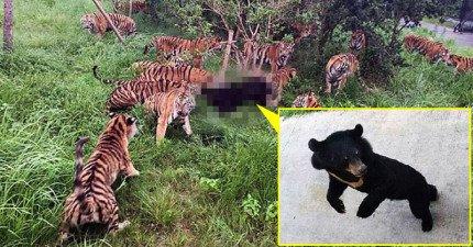上海動物園這隻3歲小黑熊誤闖老虎的地盤,結果觀看的民眾所有都狂尖叫...