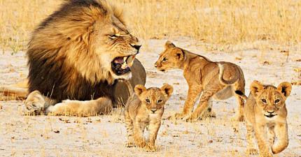在這隻明星獅子遭射殺後,一直跟他爭地盤的對手居然開始保護他的孩子!