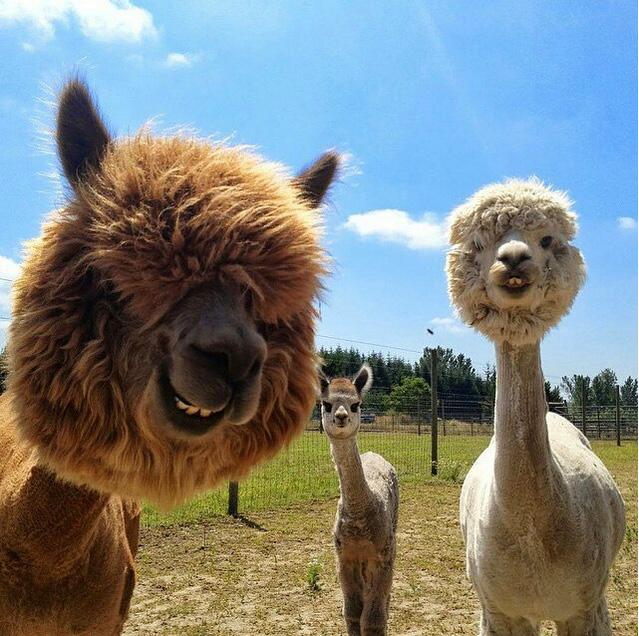 請記住草泥馬原本毛茸茸的樣子,因為你準備要因為「剃毛後的草泥馬」而笑瘋了。