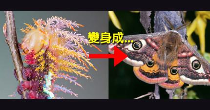12隻超亮眼毛毛蟲和他們變身完成的超瘋狂比對圖。