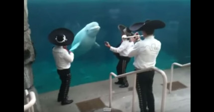 這條白鲸可能會是你看過最有音樂細胞的動物!