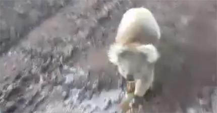 他們拍下「進擊的嗜血無尾熊」發狂追擊車子,但被追上後...呃這就是你想做的事嗎?