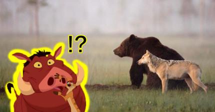 攝影師意外拍到連續十幾天「根本是迪士尼電影」的公熊母狼超麻吉畫面!
