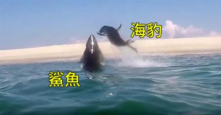 研究團隊湊巧拍下小海豹超驚險閃過鯊魚大口,還一記回馬槍K了鯊魚的頭!