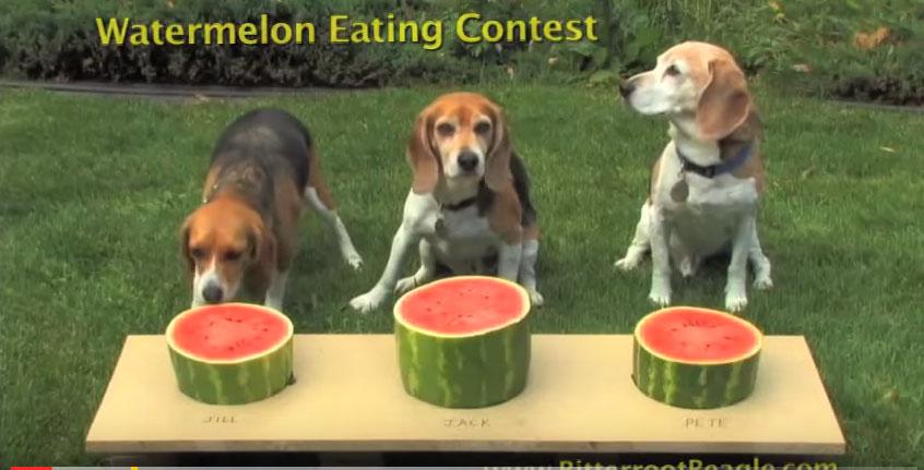 這3隻小獵犬比賽吃西瓜的模樣會讓你感到立刻超清涼!