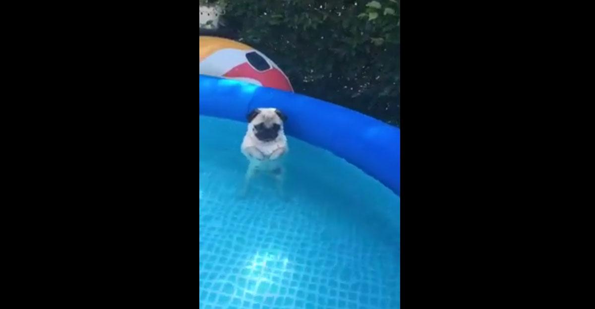 小巴哥寶寶一下水就忘記該怎麼當狗狗了,一動就把主人給笑死了!