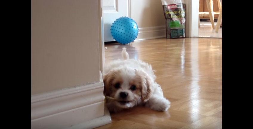 這隻狗狗以為門擋是危害家人的敵人,結果世界上最可愛的戰爭就展開了!