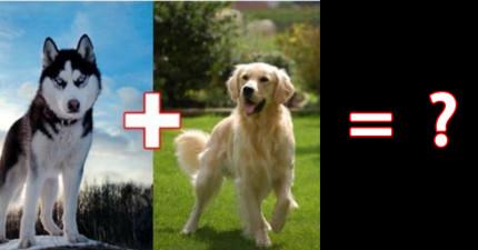 10種完全想不到混起來看起來會怎樣的超可愛混種狗狗。鬆獅犬+哈士奇可以再犯規一點嗎?!