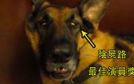 這隻德國牧羊犬熟睡的模樣跟殭屍沒什麼兩樣,但等到他睡醒的那一刻實在太爆笑了!