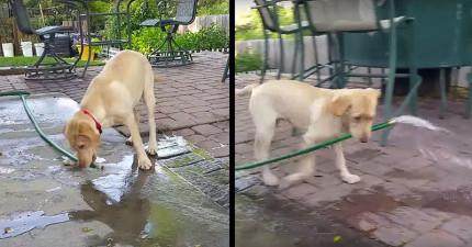 這隻狗狗將地上的水管咬起來,接下來做的「超聰明舉動」我真的無法相信...