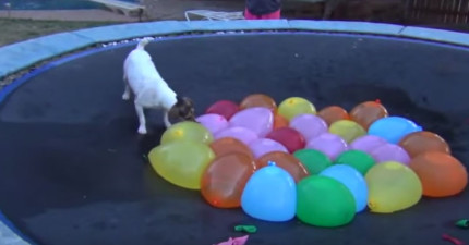 這隻狗狗和他最愛的裝滿水氣球的影片就是你最需要的快樂。