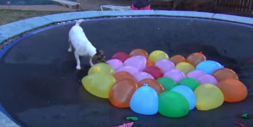 狗狗裝滿水的氣球