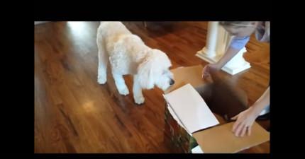 他們送狗狗一歲大禮,狗狗一開始還以為只是普通的玩具,結果發現是什麼時就完全不知道該怎麼反應了!