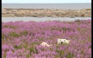 這頭北極熊在花海中玩耍的超罕見萌模樣會告訴你:你生命中最缺乏的是什麼!