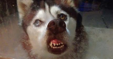 17隻沒想到舔玻璃超蠢模樣會被PO上網的超可愛動物。