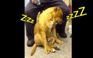 這隻「超想睡覺但仍堅持陪伴主人」的狗狗,搖搖欲墜的可愛模樣真的讓我很擔心啊!