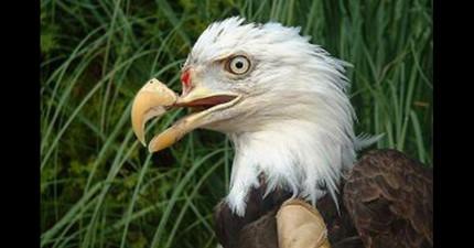 民眾聽到槍聲後發現這隻受傷的老鷹,但老鷹之後卻得到了「神奇的醫療方法」重獲新生!