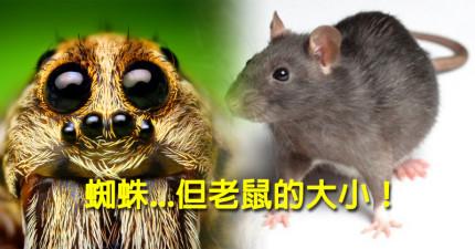 現在有一種跟老鼠一樣大的巨型房子蜘蛛被目擊拍下在一名網友家交配繁殖!