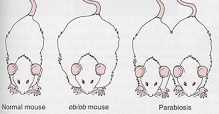 學者透過實驗將一隻老的和一隻年輕的老鼠縫合在一起後,意外發現會改變人類歷史的重大發現!